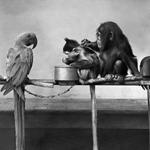 Schimpanse, Makake und Kakadu
